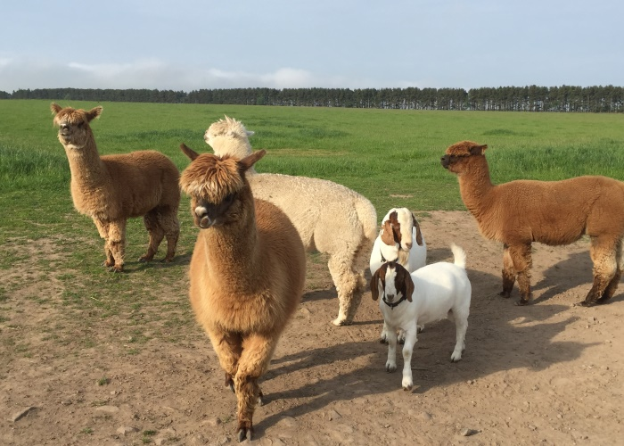 Alpaca Walking Experience, Angus