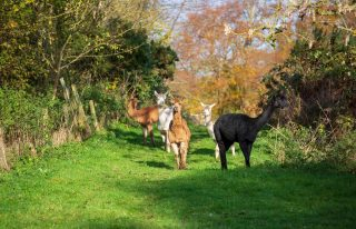 Davids Hill Alpaca Tours